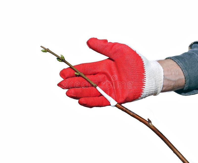 Trädgårdsmästaren gör inympningfilialen ett isolerat trädungt träd arkivbilder