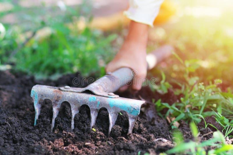 Trädgårdsmästaren gräver den svarta jorden med krattar royaltyfria bilder