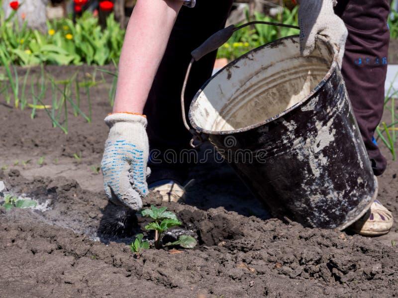 Trädgårdsmästaren kastar på växtforsarna av den wood askaen från en hink arkivbild