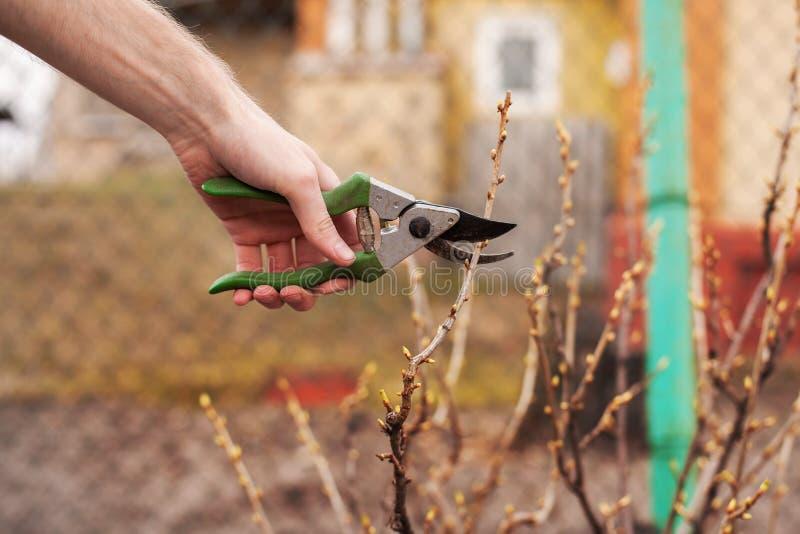 Trädgårdsmästaren klipper en vinbär med en pruner fotografering för bildbyråer