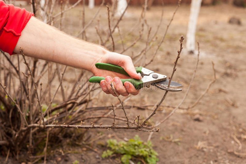 Trädgårdsmästaren klipper en vinbär med en prunercloseup arkivbild