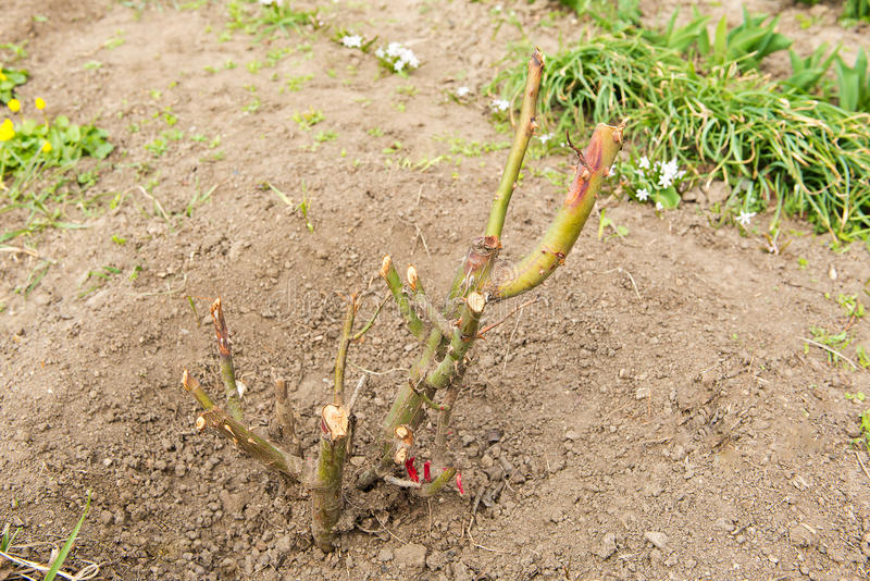 Trädgårdsmästaren klipper en vinbär med en prunercloseup Den fäste ihop busken steg med knoppar i den tidiga våren som arbeta i t fotografering för bildbyråer