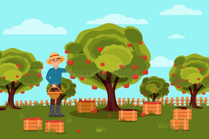 Trädgårdsmästareplockningäpplen i korg Fruktodling naturlig liggande Träaskar med design för skördlägenhetvektor royaltyfri illustrationer