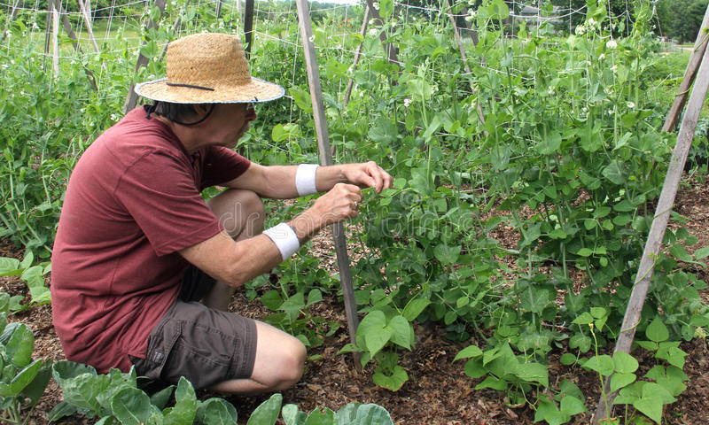 Trädgårdsmästareplockningärtor från en trädgård arkivfoton