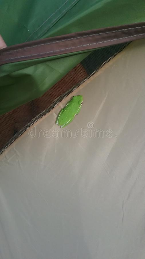 Trädgroda på tältet fotografering för bildbyråer