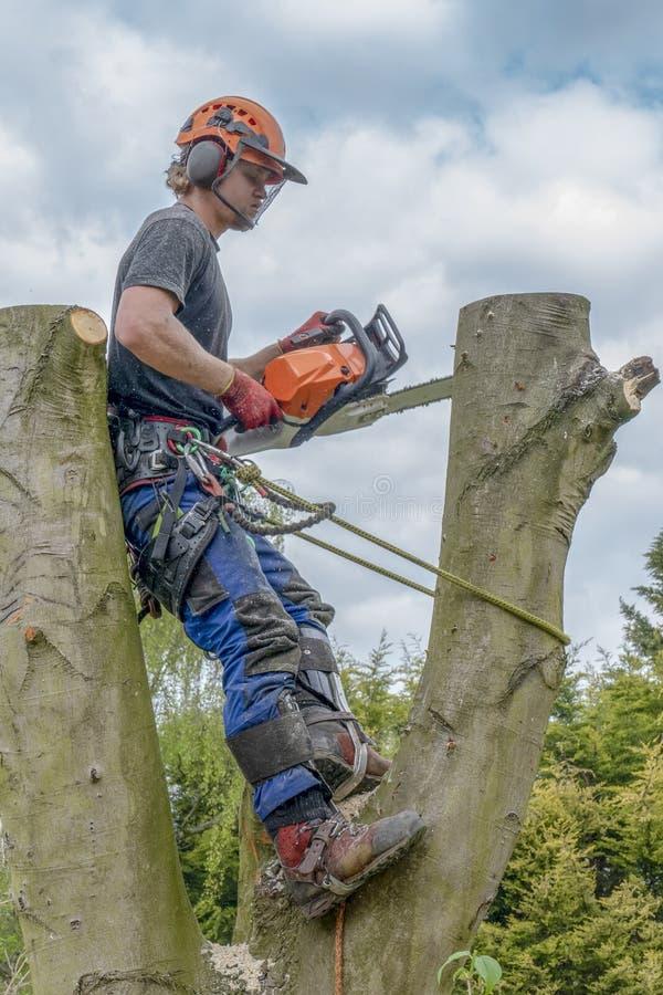 Trädkirurg eller Arborist som använder ett säkerhetsrep och chainsaw upp ett träd arkivfoton