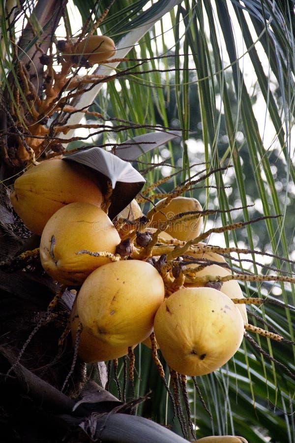 Trädkokosnöt med frukter royaltyfria bilder