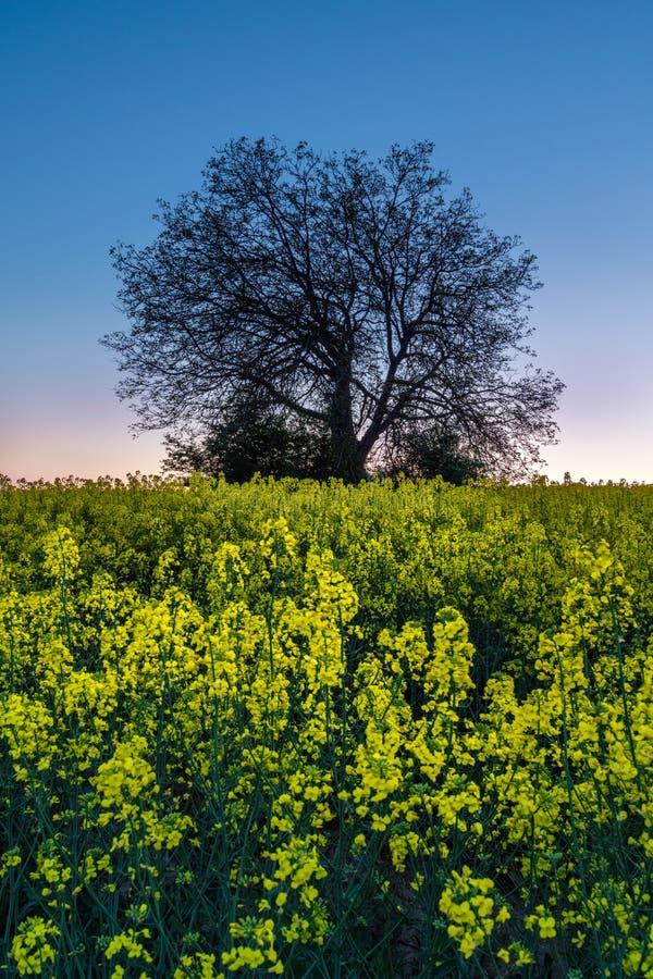 Trädkontur i gult rapsfröfält Solnedgångnaturlandscap royaltyfria bilder