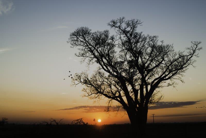 Trädkontur på soluppgång i Brasilien arkivfoto