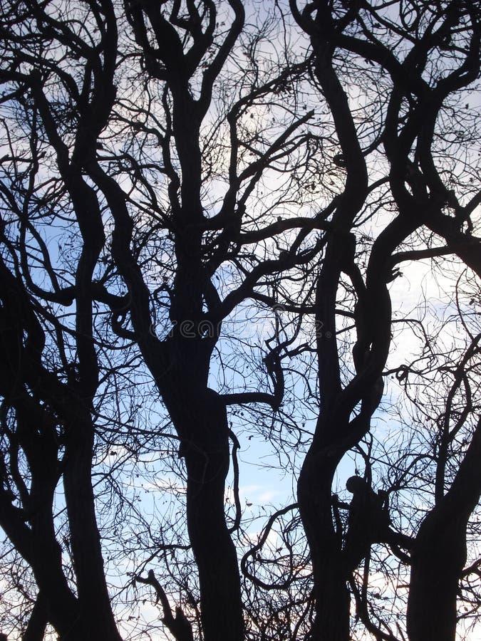 Trädkronakontur på aftonvinterhimmel royaltyfri foto