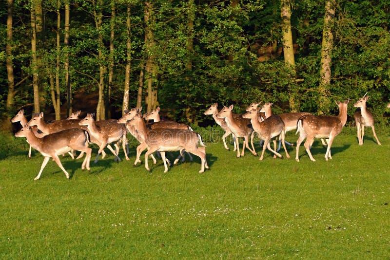 Trädor - dovhjortar (Damadama) härlig naturlig bakgrund med djur royaltyfria bilder
