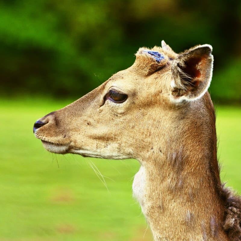 Trädor - dovhjortar (Damadama) härlig naturlig bakgrund med djur arkivbild