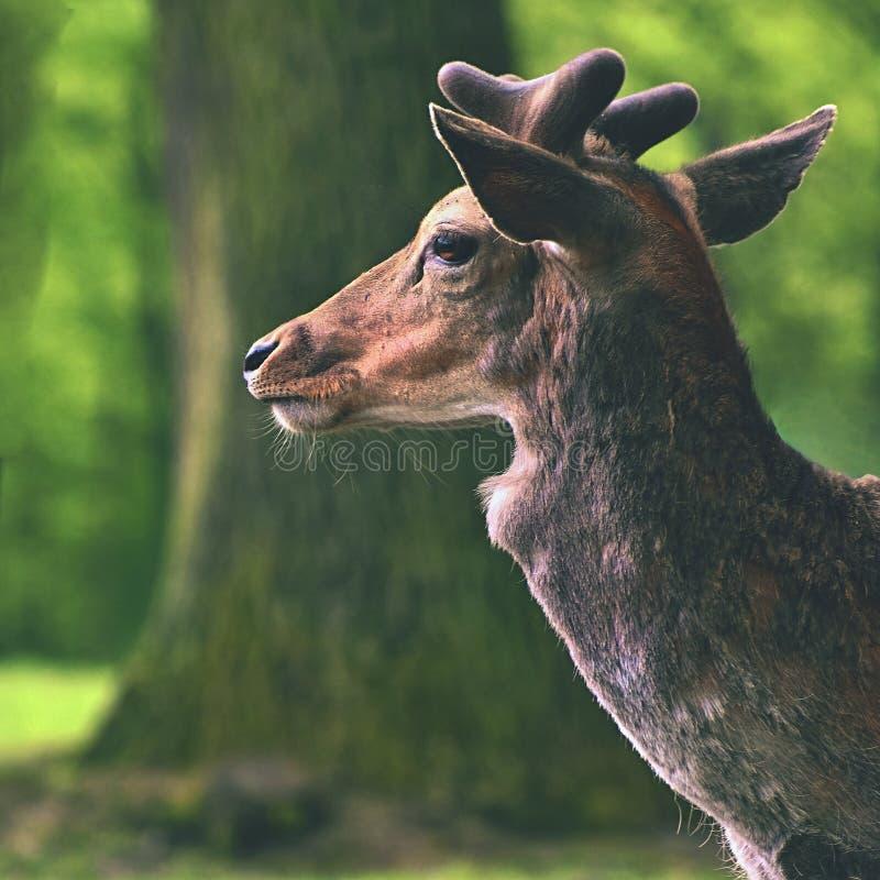 Trädor - dovhjortar Härlig naturlig bakgrund för Damadama med djur Skog och natur med solnedgång royaltyfri bild
