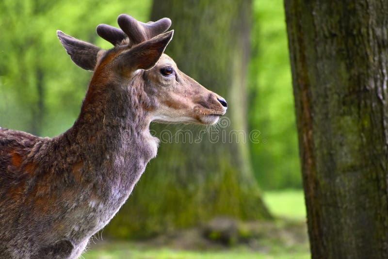 Trädor - dovhjortar Härlig naturlig bakgrund för Damadama med djur Skog och natur med solnedgång royaltyfria foton