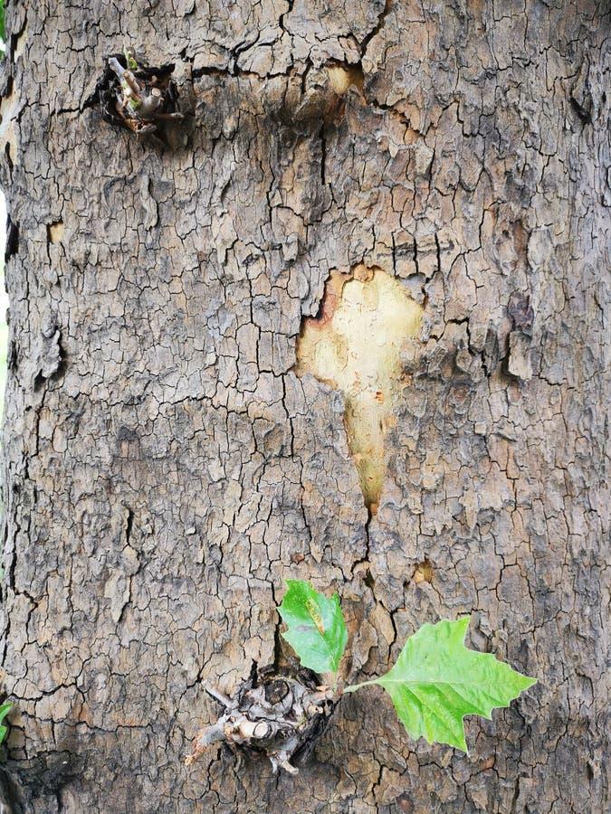 Trädskäll - grovt trädskäll arkivbild