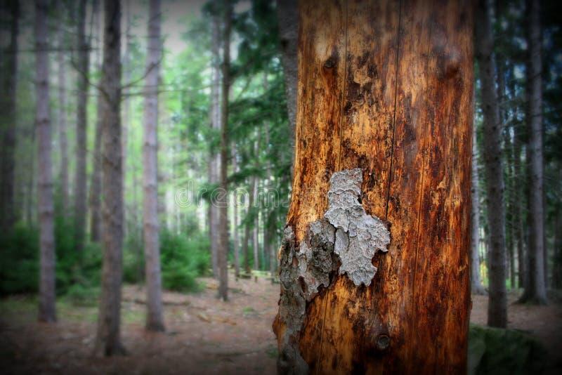 Trädskäll i pinjeskog fotografering för bildbyråer