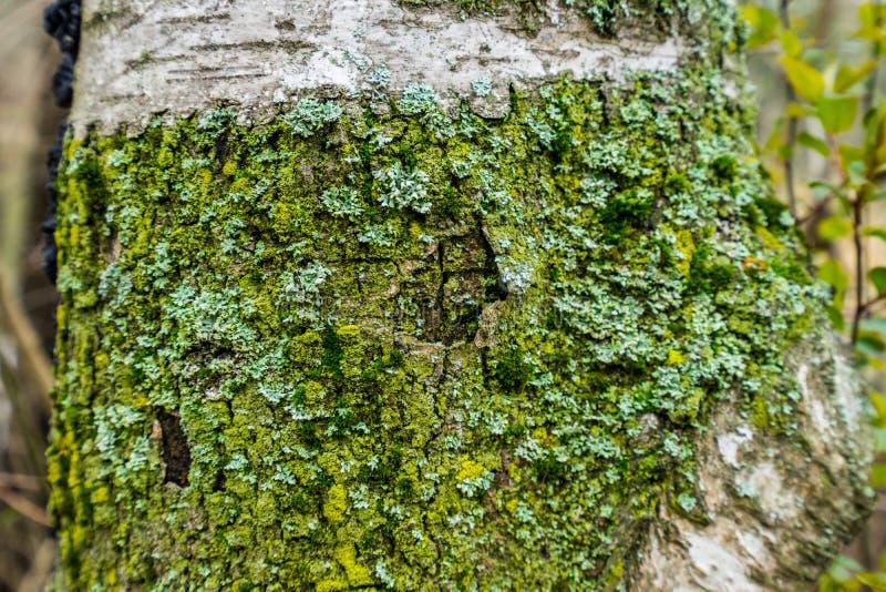 Trädskäll med den Lichensa detaljen av en trädstam som täckas med laver och mossa arkivbilder