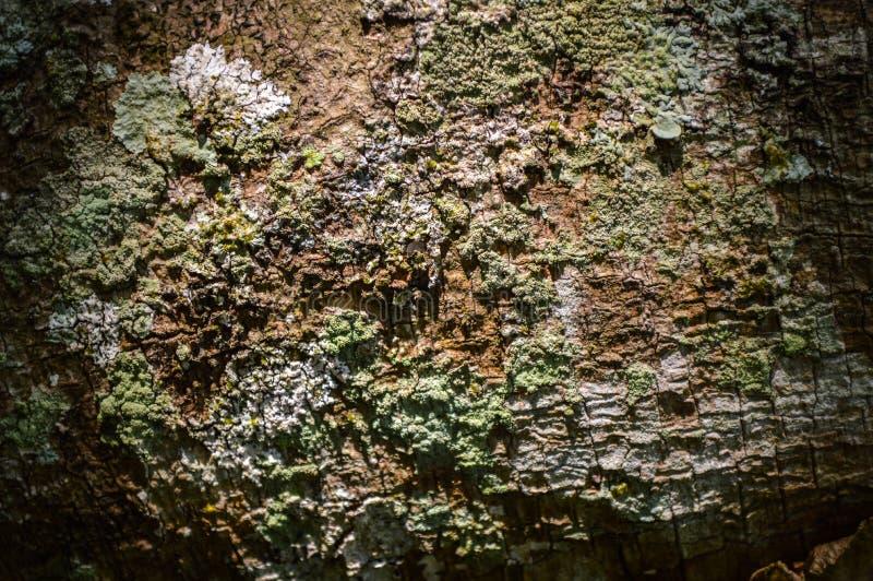 Trädskäll med lavtextur arkivfoton