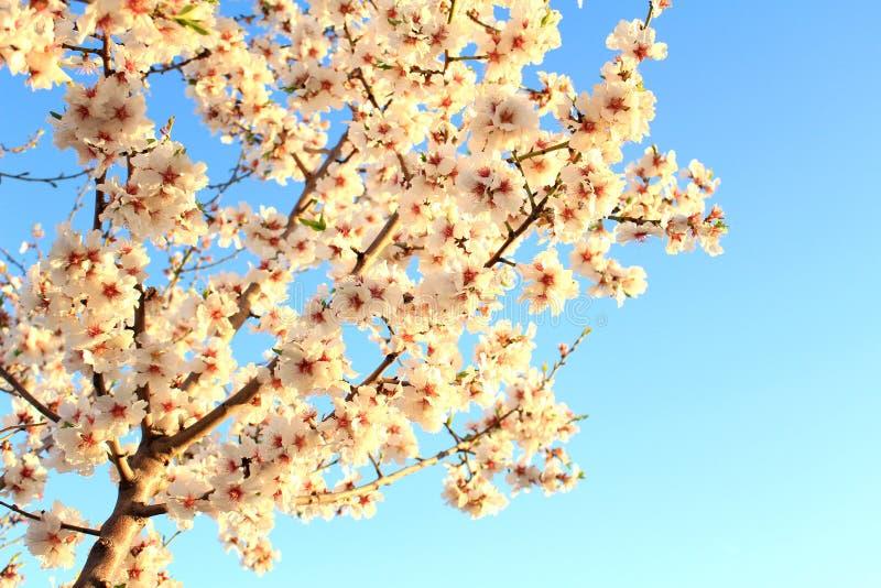 Trädspanjoren för körsbärsröd blomning fjädrar på bakgrund för blå himmel royaltyfria bilder