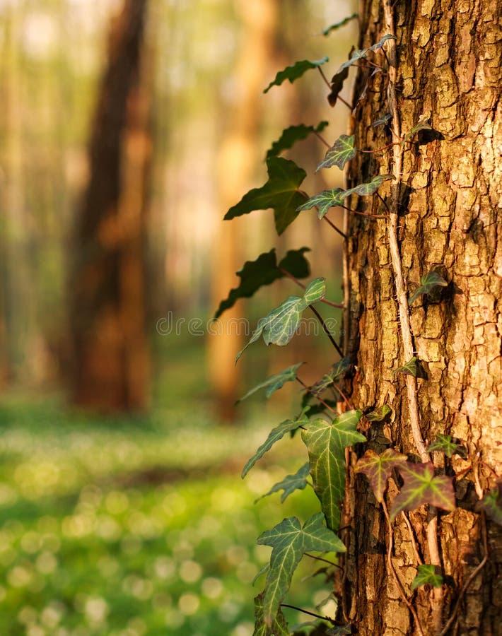 Trädstam med den växande stammen i grön skog fotografering för bildbyråer