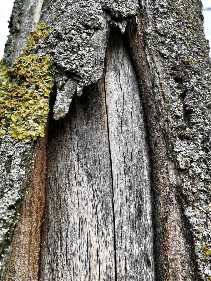 Trädstam med det rev sönder skället arkivfoto