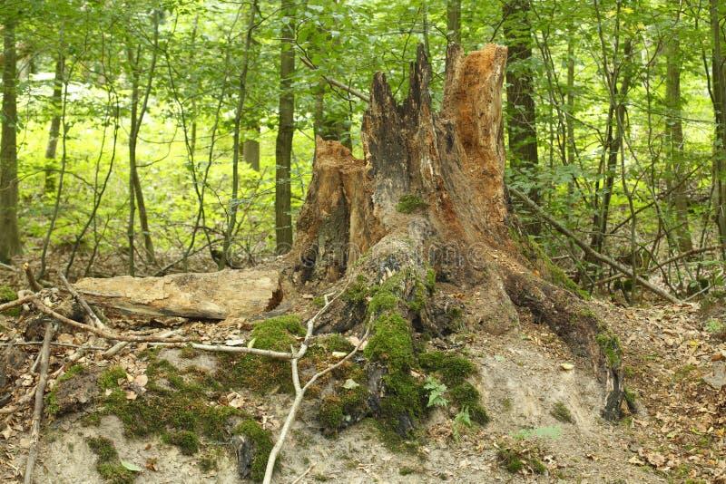 Trädstubbe i ett trä, Tyskland, Europa royaltyfri foto