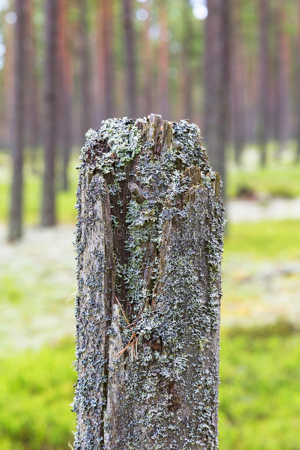 Trädstubbe med laven royaltyfri fotografi