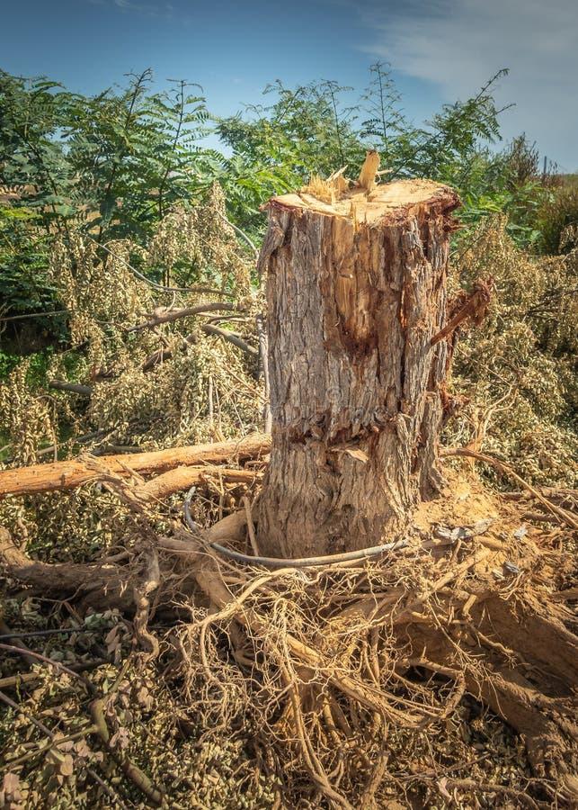 Trädstubben efter vägsidoträd har varit cutdownen och därefter utdraget, efter den har haft bevuxna skadlig trottoarer arkivbild