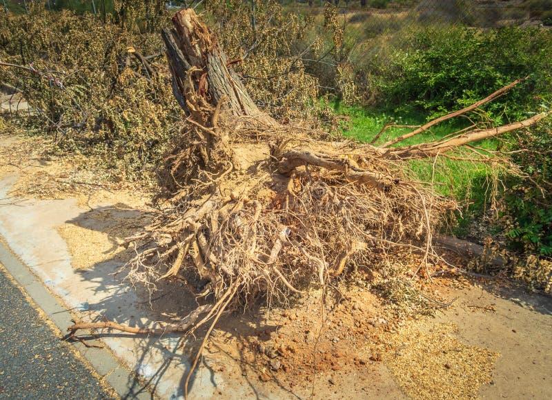 Trädstubben efter vägsidoträd har varit cutdownen och därefter utdraget, efter den har haft bevuxna skadlig trottoarer arkivbilder