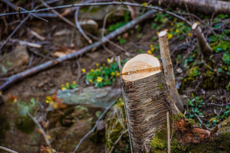 Trädstump i en skog som har gjorts klar fotografering för bildbyråer
