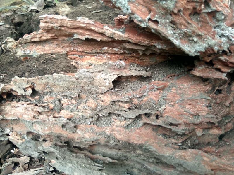 Trädtrunkar som äts av termiter royaltyfria bilder