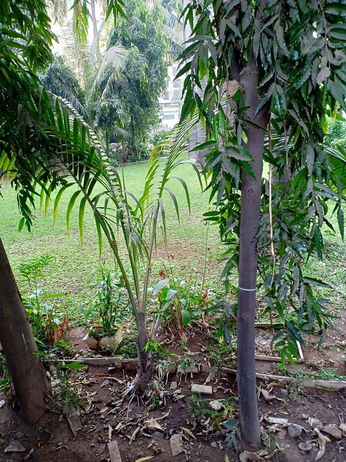 Trädväxt av kokosnöten något gräs royaltyfri foto