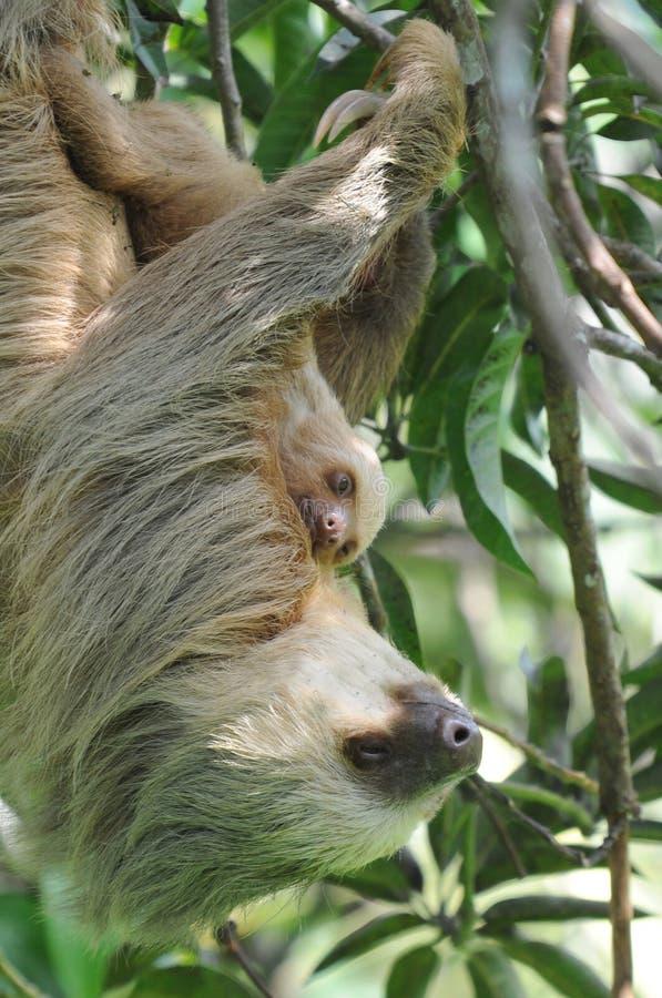 Trägheit, drei toe erwachsene Mutter mit Schätzchen, Costa Rica stockbilder