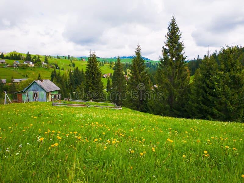 Träkabin nära granskogen, solig vårdag med grönt gräs och blommaängar i Yablunytsya, Carpathian by, royaltyfria bilder