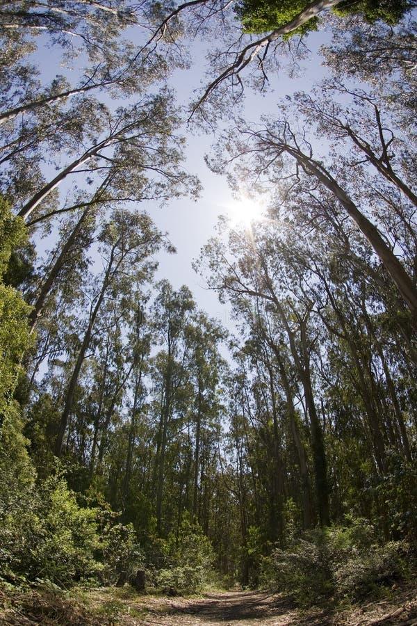 trän för trees för nationell redwoodträd för monumentmuir högväxt arkivbild