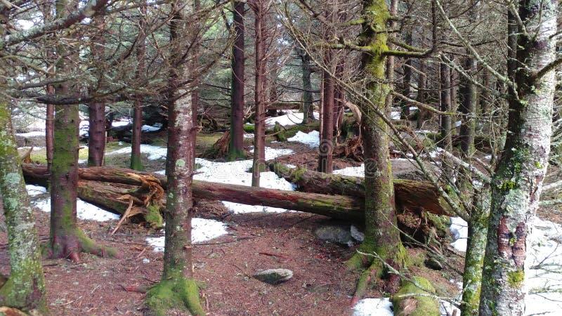 Trän med den forntida skogen för snö royaltyfria bilder
