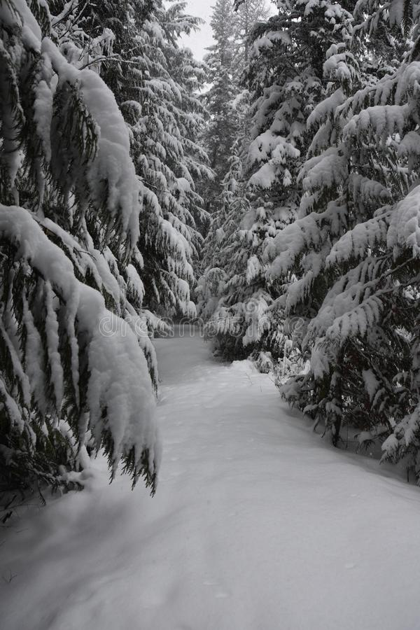 Trän på en snöig afton på glaciärnationalparken, Montana royaltyfri fotografi