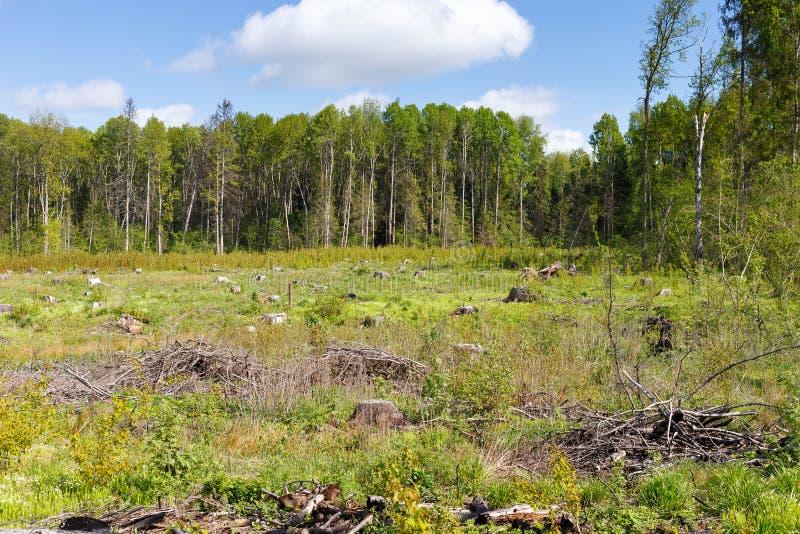 Trän som loggar stubben efter skogsavverkningträn royaltyfria bilder