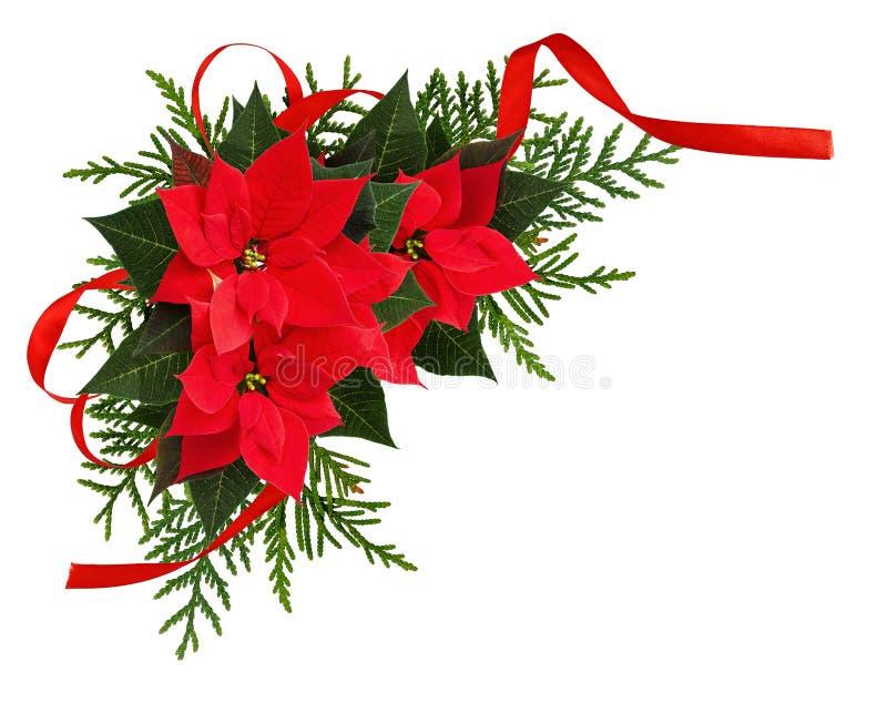 Tränga någon röda julstjärnablommor för jul ordning med bandet arkivbilder