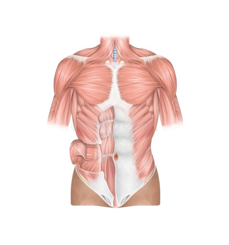 Tränga sig in den främre sikten för anatomi av den mänskliga thorakala och buk- väggen stock illustrationer