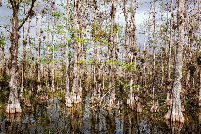 Träsk för träd för skallig cypress i stor cypress royaltyfri foto
