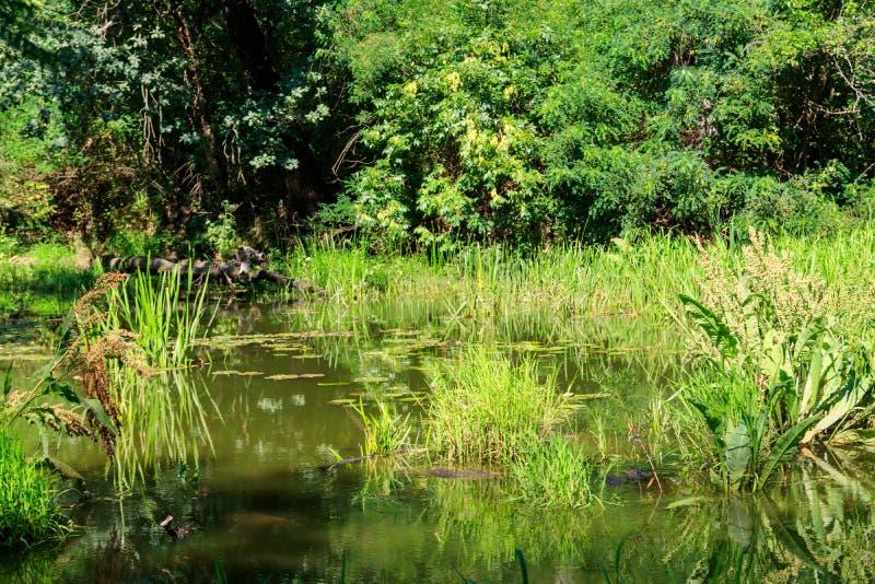 Träsk i grön lövskog på sommar royaltyfri foto