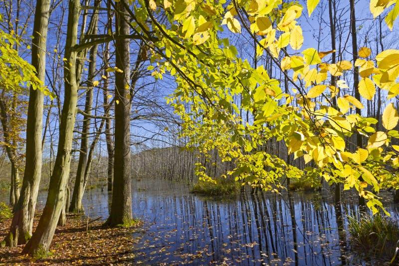 Träsk i skogen royaltyfri fotografi