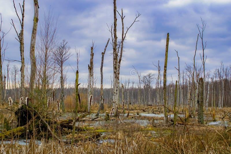 Träsk med döda träd och dramatisk molnig himmel arkivfoto