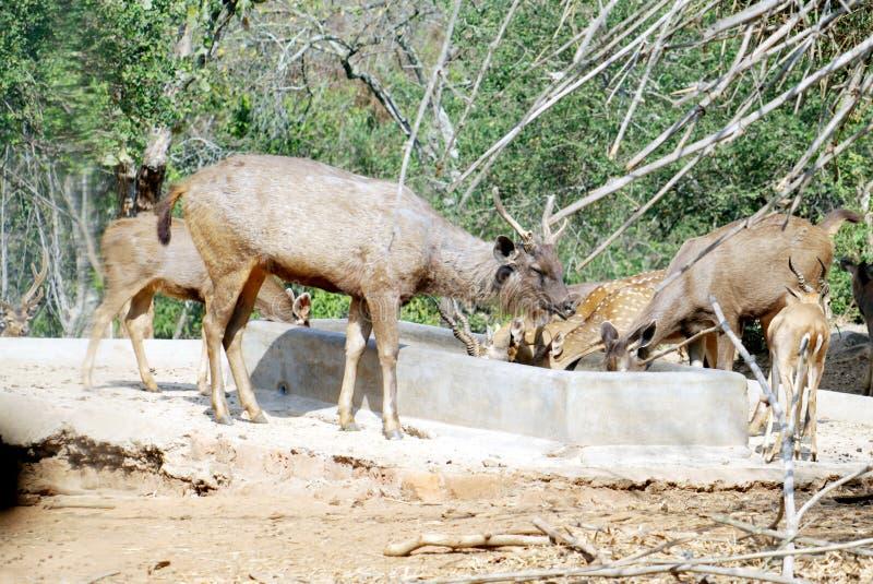 Träsk och prickiga hjortar arkivfoton