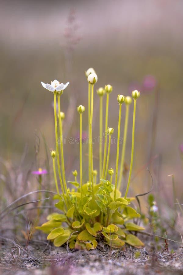 Träskgräs av Parnassus blommor arkivfoto