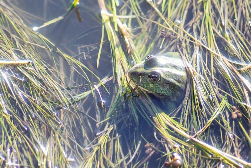 Träskgroda i dammet mycket av ogräs Pelophylax för grön groda esculentus sammanträde i vatten fotografering för bildbyråer