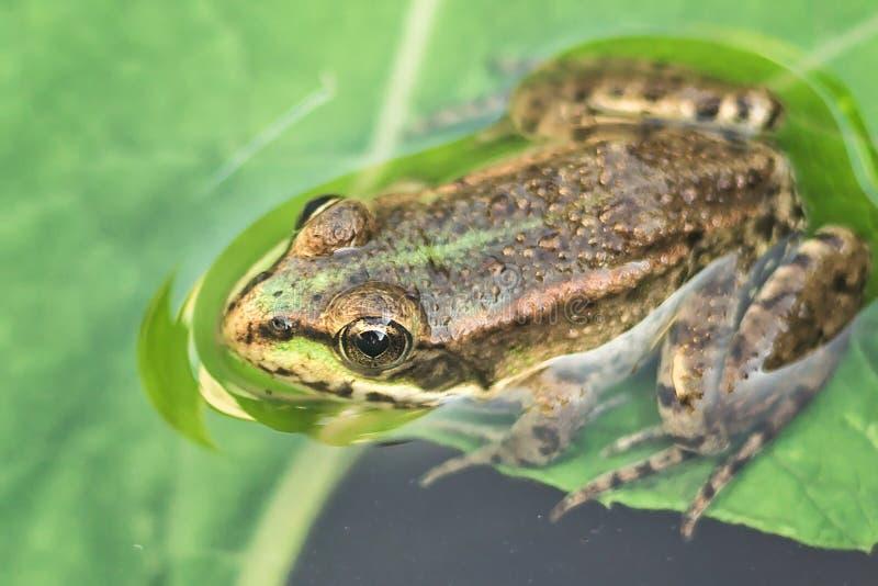 Träskgroda i dammet mycket av ogräs Pelophylax för grön groda esculentus sammanträde i vatten royaltyfria foton