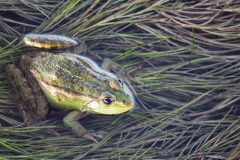 Träskgroda i dammet mycket av ogräs Pelophylax för grön groda esculentus sammanträde i vatten royaltyfri bild