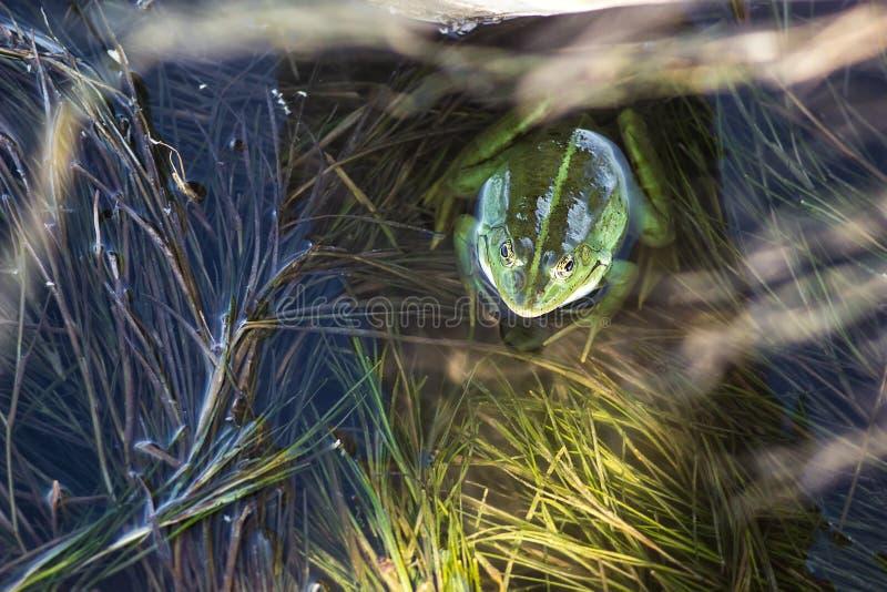 Träskgroda i dammet mycket av ogräs Pelophylax för grön groda esculentus sammanträde i vatten arkivfoto